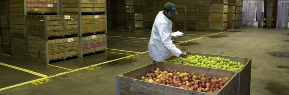 Worker in cold storage room controlling boxes of apples