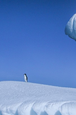 One lone Adelie penguin standing on the lip of an iceberg floating in Neko Harbor.  Taken in Neko Harbor, Antarctica